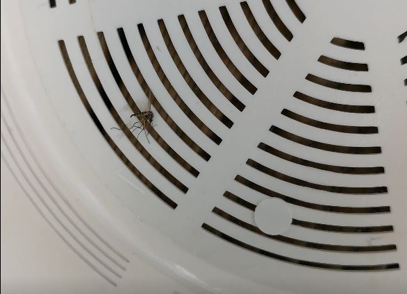Vanlig mygga